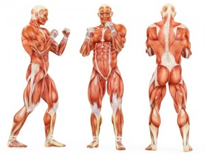 muscle anatomy time under tension